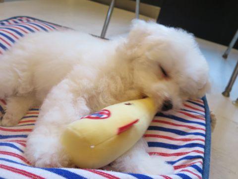 ビションフリーゼフントヒュッテビションフリーゼ子犬こいぬ父チャンピオン犬チャンピオン血統ビション子犬おんなのこ東京ビションフリーゼ画像性格かわいい_542.jpg