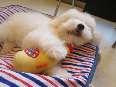 ビションフリーゼフントヒュッテビションフリーゼ子犬こいぬ父チャンピオン犬チャンピオン血統ビション子犬おんなのこ東京ビションフリーゼ画像性格かわいい_544.jpg