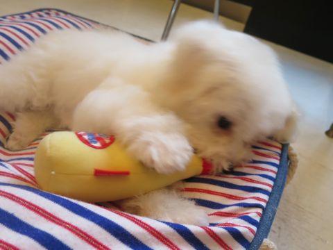 ビションフリーゼフントヒュッテビションフリーゼ子犬こいぬ父チャンピオン犬チャンピオン血統ビション子犬おんなのこ東京ビションフリーゼ画像性格かわいい_545.jpg