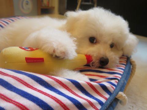 ビションフリーゼフントヒュッテビションフリーゼ子犬こいぬ父チャンピオン犬チャンピオン血統ビション子犬おんなのこ東京ビションフリーゼ画像性格かわいい_546.jpg