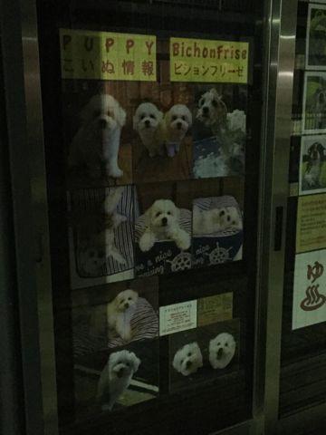 ビションフリーゼフントヒュッテビションフリーゼ子犬こいぬ父チャンピオン犬チャンピオン血統ビション子犬おんなのこ東京ビションフリーゼ画像性格かわいい_548.jpg