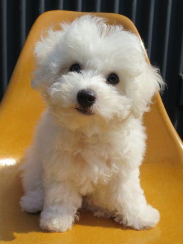 ビションフリーゼフントヒュッテビションフリーゼ子犬こいぬ父チャンピオン犬チャンピオン血統ビション子犬おんなのこ東京ビションフリーゼ画像性格かわいい_551.jpg