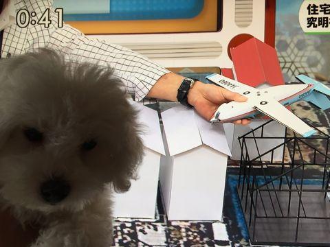 ビションフリーゼフントヒュッテビションフリーゼ子犬こいぬ父チャンピオン犬チャンピオン血統ビション子犬おんなのこ東京ビションフリーゼ画像性格かわいい_554.jpg