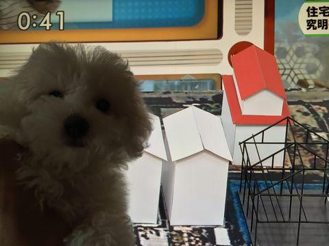 ビションフリーゼフントヒュッテビションフリーゼ子犬こいぬ父チャンピオン犬チャンピオン血統ビション子犬おんなのこ東京ビションフリーゼ画像性格かわいい_555.jpg