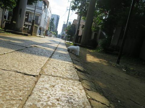 ビションフリーゼフントヒュッテビションフリーゼ子犬こいぬ父チャンピオン犬チャンピオン血統ビション子犬おんなのこ東京ビションフリーゼ画像性格かわいい_574.jpg