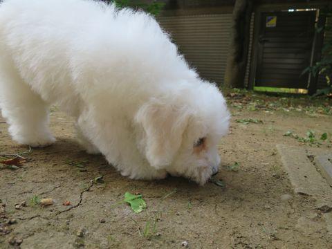ビションフリーゼフントヒュッテビションフリーゼ子犬こいぬ父チャンピオン犬チャンピオン血統ビション子犬おんなのこ東京ビションフリーゼ画像性格かわいい_575.jpg