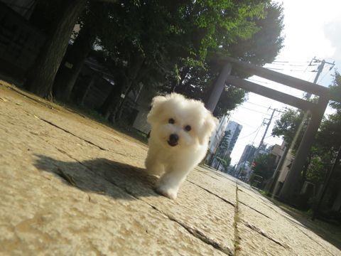 ビションフリーゼフントヒュッテビションフリーゼ子犬こいぬ父チャンピオン犬チャンピオン血統ビション子犬おんなのこ東京ビションフリーゼ画像性格かわいい_576.jpg