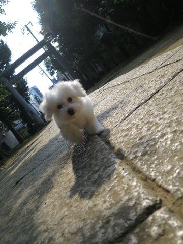 ビションフリーゼフントヒュッテビションフリーゼ子犬こいぬ父チャンピオン犬チャンピオン血統ビション子犬おんなのこ東京ビションフリーゼ画像性格かわいい_577.jpg