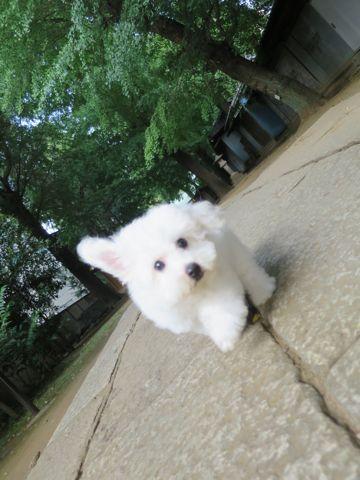 ビションフリーゼフントヒュッテビションフリーゼ子犬こいぬ父チャンピオン犬チャンピオン血統ビション子犬おんなのこ東京ビションフリーゼ画像性格かわいい_578.jpg