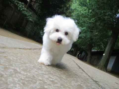 ビションフリーゼフントヒュッテビションフリーゼ子犬こいぬ父チャンピオン犬チャンピオン血統ビション子犬おんなのこ東京ビションフリーゼ画像性格かわいい_579.jpg