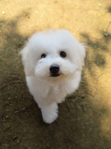 ビションフリーゼフントヒュッテビションフリーゼ子犬こいぬ父チャンピオン犬チャンピオン血統ビション子犬おんなのこ東京ビションフリーゼ画像性格かわいい_580.jpg