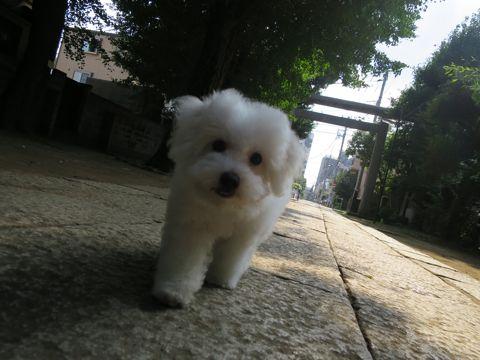 ビションフリーゼフントヒュッテビションフリーゼ子犬こいぬ父チャンピオン犬チャンピオン血統ビション子犬おんなのこ東京ビションフリーゼ画像性格かわいい_581.jpg