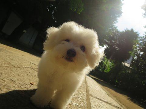 ビションフリーゼフントヒュッテビションフリーゼ子犬こいぬ父チャンピオン犬チャンピオン血統ビション子犬おんなのこ東京ビションフリーゼ画像性格かわいい_584.jpg