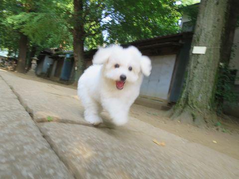 ビションフリーゼフントヒュッテビションフリーゼ子犬こいぬ父チャンピオン犬チャンピオン血統ビション子犬おんなのこ東京ビションフリーゼ画像性格かわいい_585.jpg