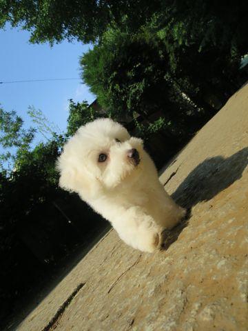 ビションフリーゼフントヒュッテビションフリーゼ子犬こいぬ父チャンピオン犬チャンピオン血統ビション子犬おんなのこ東京ビションフリーゼ画像性格かわいい_590.jpg