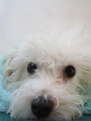 ビションフリーゼフントヒュッテビションフリーゼ子犬こいぬ父チャンピオン犬チャンピオン血統ビション子犬おんなのこ東京ビションフリーゼ画像性格かわいい_598.jpg