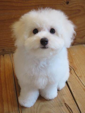 ビションフリーゼフントヒュッテビションフリーゼ子犬こいぬ父チャンピオン犬チャンピオン血統ビション子犬おんなのこ東京ビションフリーゼ画像性格かわいい_600.jpg