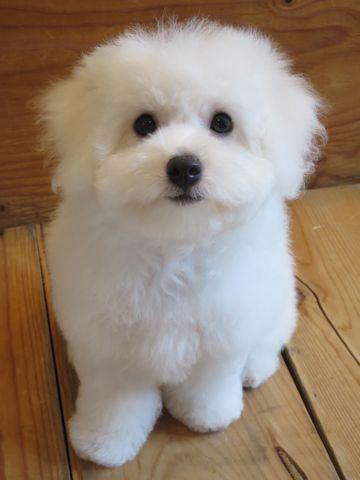 ビションフリーゼフントヒュッテビションフリーゼ子犬こいぬ父チャンピオン犬チャンピオン血統ビション子犬おんなのこ東京ビションフリーゼ画像性格かわいい_600b.jpg