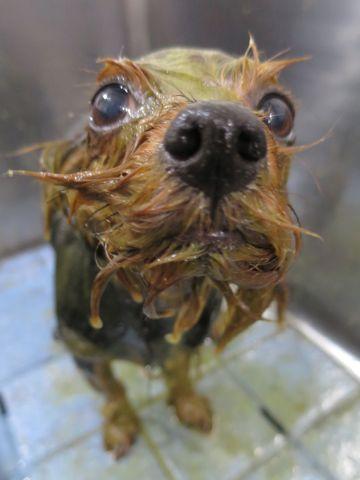 ヨーキートリミング文京区フントヒュッテヨーキートリミング画像ヨークシャーテリアトリミング東京犬ハーブパック効果都内ヨークシャー・テリアトリミング関東15.jpg