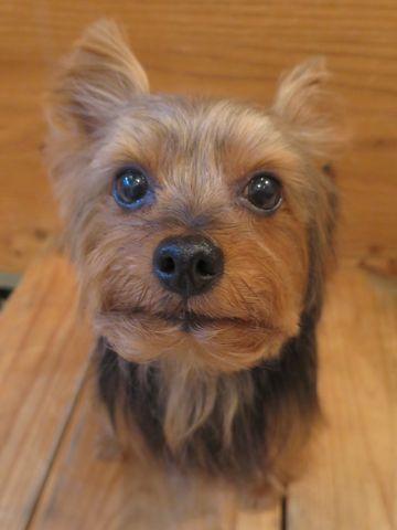 ヨーキートリミング文京区フントヒュッテヨーキートリミング画像ヨークシャーテリアトリミング東京犬ハーブパック効果都内ヨークシャー・テリアトリミング関東25.jpg