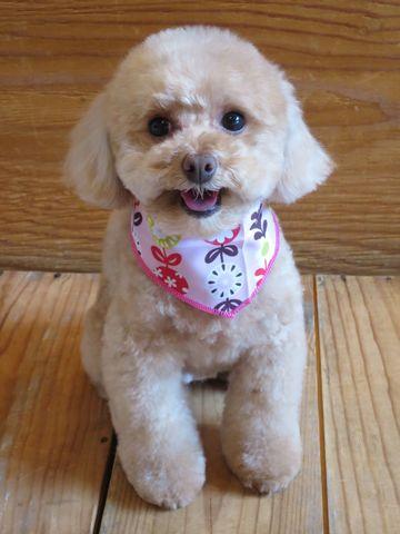 トイプードルトリミング文京区フントヒュッテ駒込テディベアカットトイプー東京かわいいトイプードル画像トイプードルカットモデル写真関東Toy Poodle28.jpg