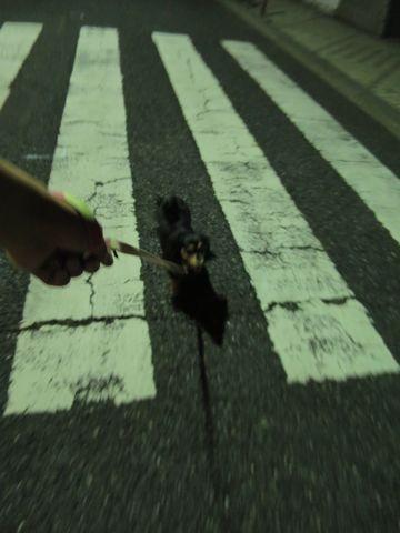 ダックスペットホテル様子おさんぽ犬おあずかり文京区フントヒュッテ東京ダックストリミング画像都内ペットホテル駒込カニヘンダックスカニンヘンダックス8.jpg