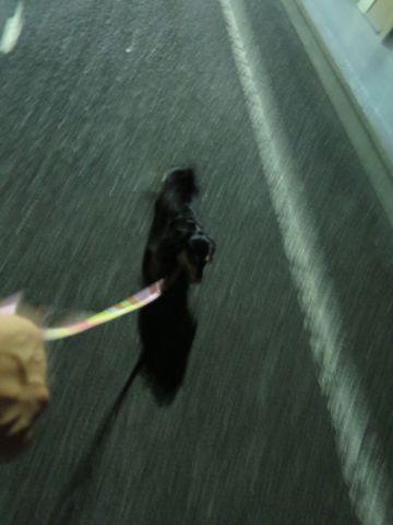 ダックスペットホテル様子おさんぽ犬おあずかり文京区フントヒュッテ東京ダックストリミング画像都内ペットホテル駒込カニヘンダックスカニンヘンダックス10.jpg