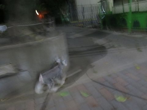 ミニチュアシュナウザーペットホテル様子おさんぽ犬おあずかり文京区フントヒュッテ東京シュナトリミング画像都内ペットホテル駒込ミニチュア・シュナウザーカット15.jpg