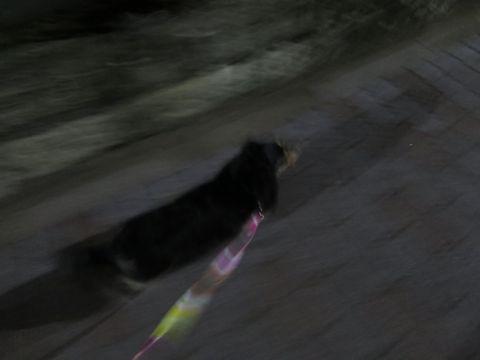 ダックスペットホテル様子おさんぽ犬おあずかり文京区フントヒュッテ東京ダックストリミング画像都内ペットホテル駒込カニヘンダックスカニンヘンダックス29.jpg