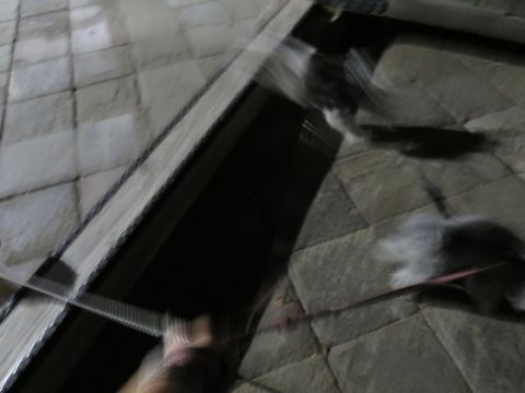ミニチュアシュナウザーペットホテル様子おさんぽ犬おあずかり文京区フントヒュッテ東京シュナトリミング画像都内ペットホテル駒込ミニチュア・シュナウザーカット60.jpg