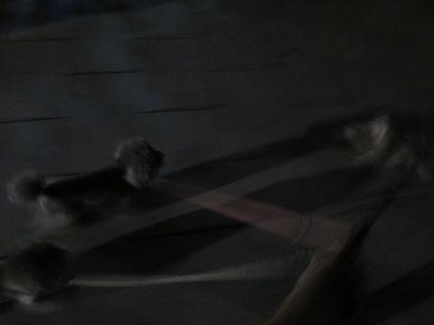ミニチュアシュナウザーペットホテル様子おさんぽ犬おあずかり文京区フントヒュッテ東京シュナトリミング画像都内ペットホテル駒込ミニチュア・シュナウザーカット61.jpg
