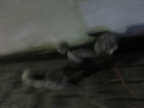 トイ・プードルペットホテル様子おさんぽ犬おあずかり文京区フントヒュッテ東京トイプードルトリミング画像都内ペットホテル駒込トイプーカットシルバー5.jpg