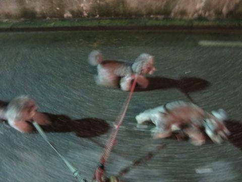 トイ・プードルペットホテル様子おさんぽ犬おあずかり文京区フントヒュッテ東京トイプードルトリミング画像都内ペットホテル駒込トイプーカットシルバー6.jpg
