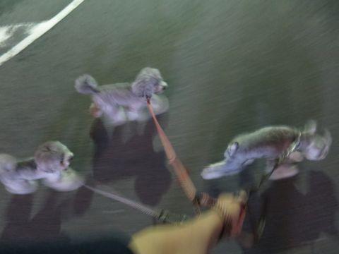 トイ・プードルペットホテル様子おさんぽ犬おあずかり文京区フントヒュッテ東京トイプードルトリミング画像都内ペットホテル駒込トイプーカットシルバー7.jpg