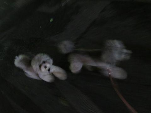 トイ・プードルペットホテル様子おさんぽ犬おあずかり文京区フントヒュッテ東京トイプードルトリミング画像都内ペットホテル駒込トイプーカットシルバー8.jpg