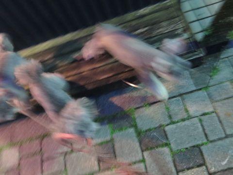 ミニチュアシュナウザーペットホテル様子おさんぽ犬おあずかり文京区フントヒュッテ東京シュナトリミング画像都内ペットホテル駒込ミニチュア・シュナウザーカット71.jpg