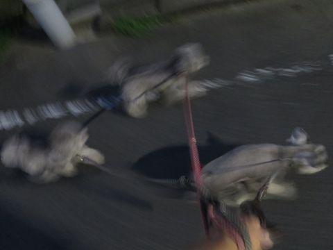 トイ・プードルペットホテル様子おさんぽ犬おあずかり文京区フントヒュッテ東京トイプードルトリミング画像都内ペットホテル駒込トイプーカットシルバー36.jpg