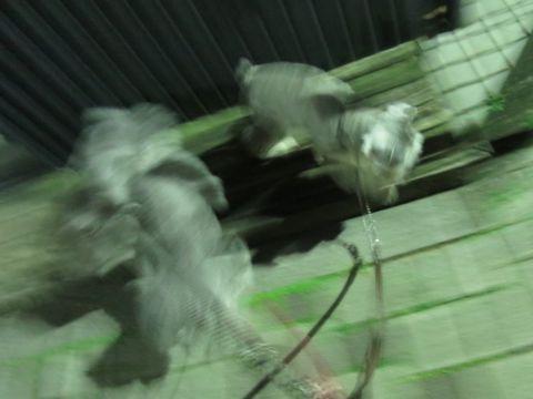 トイ・プードルペットホテル様子おさんぽ犬おあずかり文京区フントヒュッテ東京トイプードルトリミング画像都内ペットホテル駒込トイプーカットシルバー50.jpg