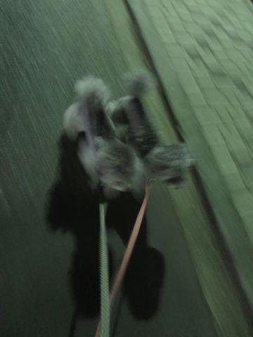 トイ・プードルペットホテル様子おさんぽ犬おあずかり文京区フントヒュッテ東京トイプードルトリミング画像都内ペットホテル駒込トイプーカットシルバー51.jpg