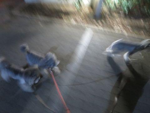 トイ・プードルペットホテル様子おさんぽ犬おあずかり文京区フントヒュッテ東京トイプードルトリミング画像都内ペットホテル駒込トイプーカットシルバー72.jpg