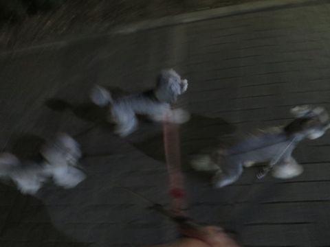 トイ・プードルペットホテル様子おさんぽ犬おあずかり文京区フントヒュッテ東京トイプードルトリミング画像都内ペットホテル駒込トイプーカットシルバー73.jpg