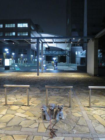 トイ・プードルペットホテル様子おさんぽ犬おあずかり文京区フントヒュッテ東京トイプードルトリミング画像都内ペットホテル駒込トイプーカットシルバー78.jpg