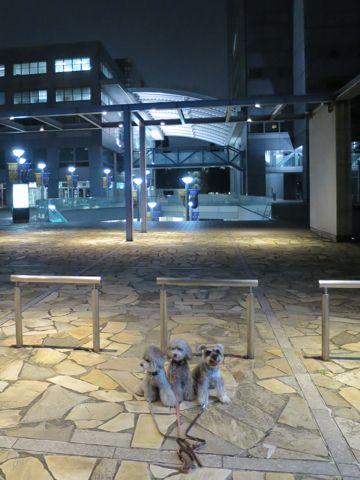 トイ・プードルペットホテル様子おさんぽ犬おあずかり文京区フントヒュッテ東京トイプードルトリミング画像都内ペットホテル駒込トイプーカットシルバー79.jpg