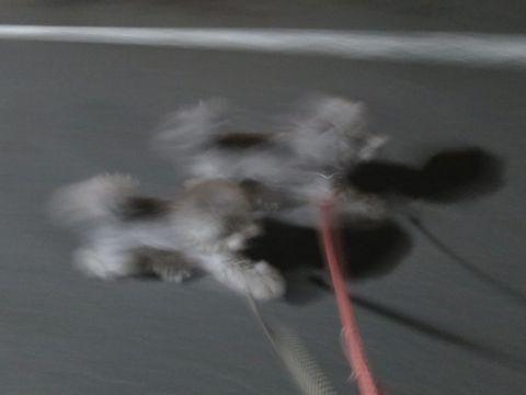 トイ・プードルペットホテル様子おさんぽ犬おあずかり文京区フントヒュッテ東京トイプードルトリミング画像都内ペットホテル駒込トイプーカットシルバー88.jpg