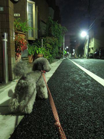 トイ・プードルペットホテル様子おさんぽ犬おあずかり文京区フントヒュッテ東京トイプードルトリミング画像都内ペットホテル駒込トイプーカットシルバー89.jpg