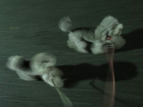トイ・プードルペットホテル様子おさんぽ犬おあずかり文京区フントヒュッテ東京トイプードルトリミング画像都内ペットホテル駒込トイプーカットシルバー94.jpg