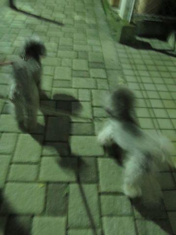 トイ・プードルペットホテル様子おさんぽ犬おあずかり文京区フントヒュッテ東京トイプードルトリミング画像都内ペットホテル駒込トイプーカットシルバー99.jpg