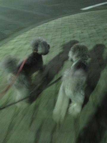 トイ・プードルペットホテル様子おさんぽ犬おあずかり文京区フントヒュッテ東京トイプードルトリミング画像都内ペットホテル駒込トイプーカットシルバー100.jpg