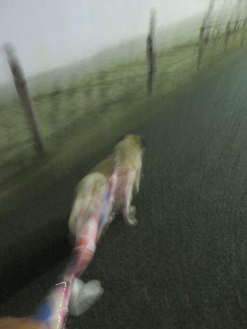 パグペットホテル様子おさんぽ犬おあずかり文京区フントヒュッテ東京パグトリミング画像都内ペットホテル駒込パグ夏注意パグ夏対策短頭種とは18.jpg