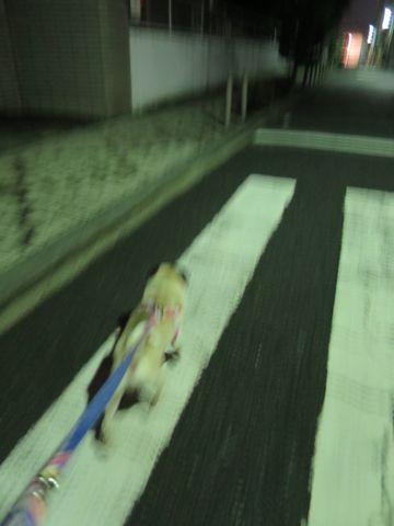 パグペットホテル様子おさんぽ犬おあずかり文京区フントヒュッテ東京パグトリミング画像都内ペットホテル駒込パグ夏注意パグ夏対策短頭種とは20.jpg